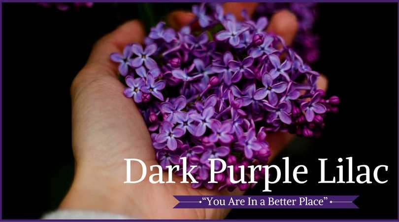 Lilac Meaning: Dark Purple Lilac