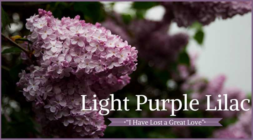 Lilac Meaning: Light Purple Lilac