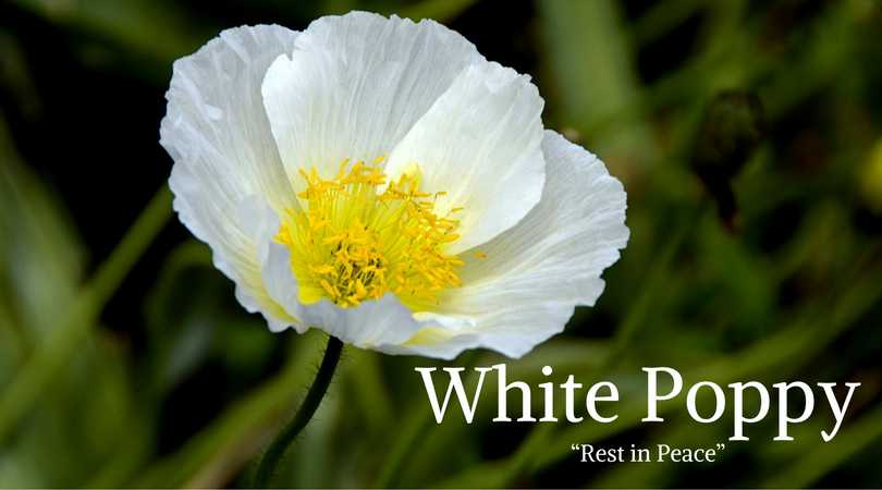 10 best funeral flowers ultimate guide love lives on poppy meaning white poppy meaning mightylinksfo